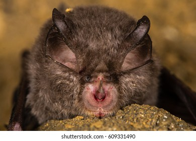 Lesser horseshoe bat (Rhinolophus hipposideros) nose. Specialized anatomical features involved in echolocation seen on rare bat in the family Rhinolophidae