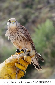 Lesser kestrel close up sitting on training leather glove. Falconry training hobby concept.