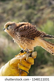 Lesser kestrel close up sitting on training leather glove. Falconry training concept.