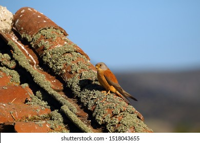 The lesser kestrel (Falco naumanni) sitting nha an old village roof. Kestrel in the village.