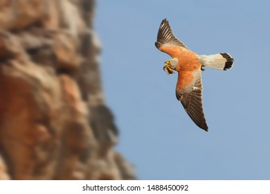 Lesser Kestrel - Falco naumanni small falcon,s breeds from the Mediterranean, Afghanistan and Central Asia, to China and Mongolia, summer migrant, wintering in Africa and Pakistan.