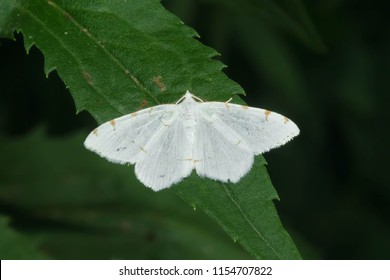 Lesser Maple Spanworm Moth perched on a leaf. Taylor Creek Park, Toronto, Ontario, Canada.