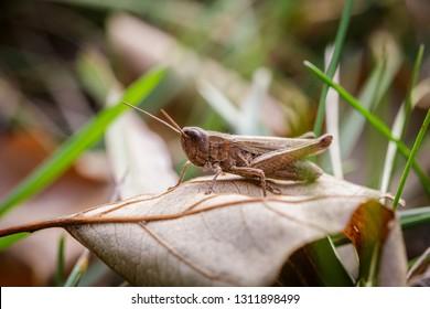 Lesser Marsh Grasshopper, Chorthippus albomarginatus, Omocestus viridulus, Grasshopper, mimicry