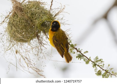 Lesser masked weaver bird weaving its nest on Acacia tree at Serengeti National Park in Tanzania, East Africa (Ploceus intermedius)
