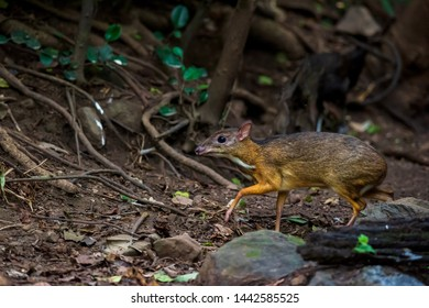 Lesser mouse-deer (Tragulus kanchil) walking in real nature