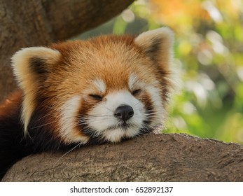 Lesser panda sleeping on the tree