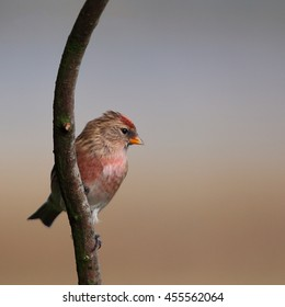 Lesser Redpoll, also known simply as Redpoll, perched on a bare branch against an Autumn background
