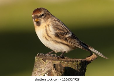 Lesser redpoll UK migrant bird perched on a log in spring time