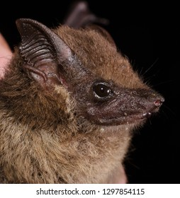 The lesser sac-winged bat or lesser white-lined bat (Saccopteryx leptura) is a bat species of the family Emballonuridae from South and Middle America.