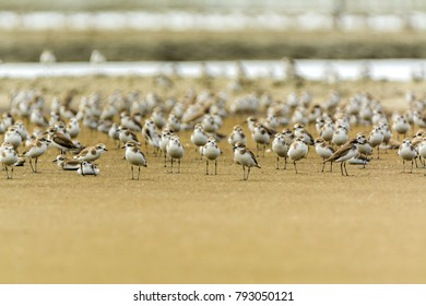 lesser sand plover (Charadrius mongolus) as small wader flock in salt pan