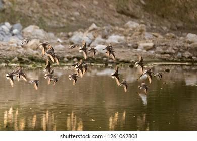 Lesser sand plover wandering over the marsh land of Kabini river