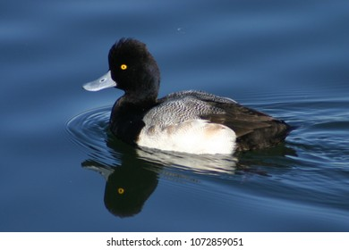A Lesser Scaup Floating