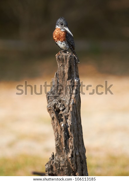 The lesser seen Giant Kingfisher male (Megaceryle maximus) with its copper or chestnut coloured chest on the banks of the Chobe River in Botswana watching for prey.