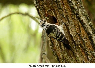 Lesser spotted woodpecker bird