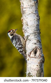The Lesser Spotted Woodpecker (Dendrocopos minor) is in the wild nature.