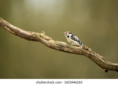 Lesser spotted woodpecker on a branch in the forest in front of natural green background