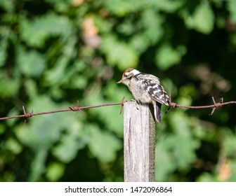 Lesser spotted woodpecker sit on  unplaned squared beam of wooden barbed wire fence