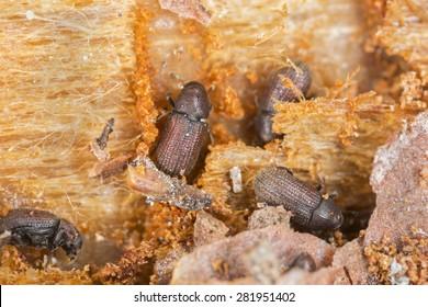 Lesser spruce shoot beetle, Hylurgops palliatus working on wood