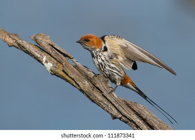 Lesser striped swallow - Pilansberg Nature reserve