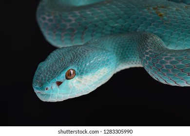 Lesser Sunda pitviper (Trimeresurus insularis) is found on Komodo island, Indonesia.