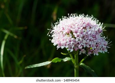 lesser valerian alpine flower