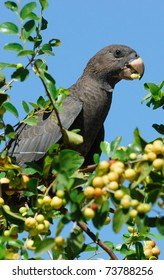Lesser Vasa Parrot (Coracopsis nigra) feeding on berries at Ifaty, western Madagascar