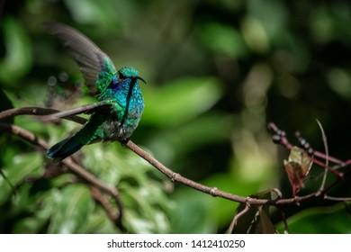 Lesser violetear (colibri cyanotus) or mountain violet-ear, formerly known as green violetear. Bird found in the highlands of Costa Rica, San Gerardo de Dota.