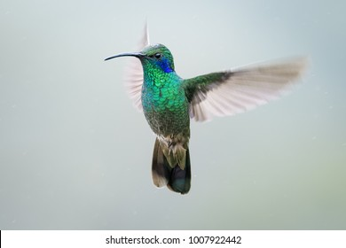 Lesser violetear hummingbird hovering in the rain in the cloud forest of Costa Rica
