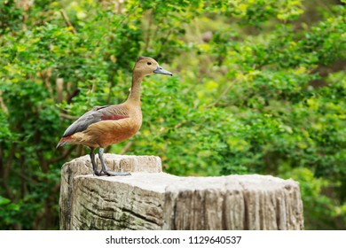 Lesser whistling duck ( or Dendrocygna javanica ) in naturein in Thailand