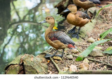 Lesser Whistling Duck (Dendrocygna javanica), a common species of South and Southeast Asia