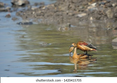 lesser whistling duck (Dendrocygna javanica) also known as Indian whistling duck or lesser whistling teal in creek water. illusion of standing above another duck.