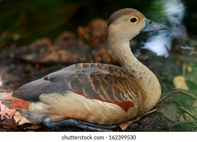 Lesser Whistling Duck in Natural Habitat