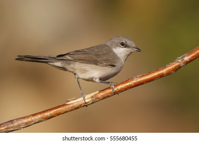 A Lesser White-throat on a branch.