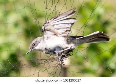 lesser whitethroat / Sylvia curruca  - Bird captured in ornithological mistnet