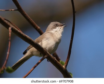 A Lesser Whitethroat (Sylvia curruca) singing in a tree.