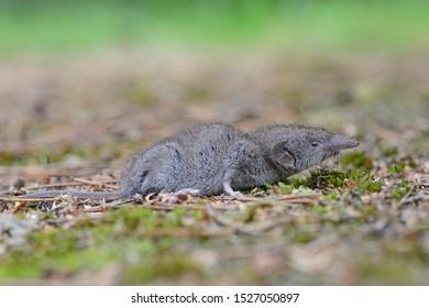 Lesser white-toothed shrew (Crocidura suaveolens), Emsland, Lower Saxony, Germany