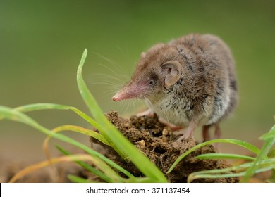 Lesser white-toothed Shrew (Crocidura suaveolens) on loam. Little insect-eating mammal with brown fur standing on meadow in garden. Background is green and fuzzy.