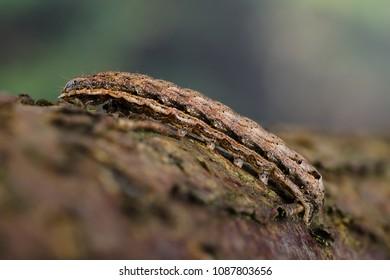 Lesser Yellow Underwing (Noctua comes) moth caterpillar. Sitting on bark