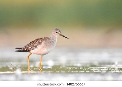 A Lesser Yellowlegs wades through a marsh on the Colorado Front Range during fall migration.