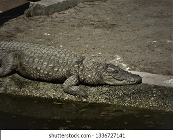 lethal crocodile with killer teeth pretending to be dead at zoo, delhi, india