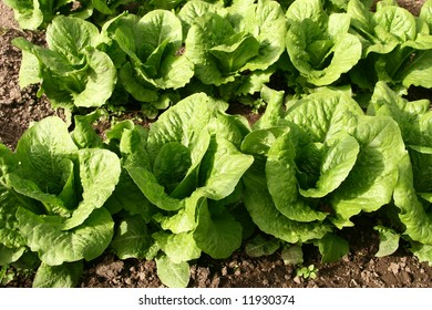 Lettuce bed in greenhouse