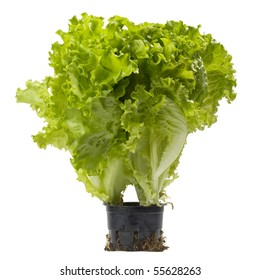 Lettuce bunch in the small  black plastic pot isolated over white background
