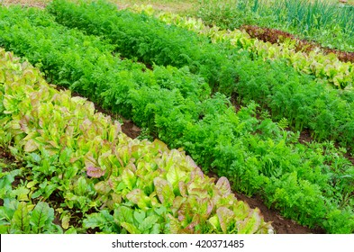 Lettuce and carrot farming.