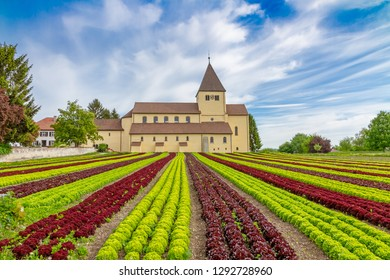 Lettuce cultivation on the island Reichenau, Lake Constance, Germany