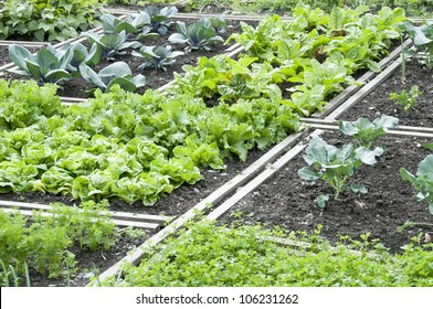 Lettuce and different other vegetables in a kitchen garden