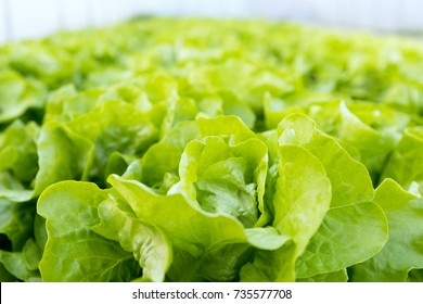 Lettuce farm. Green lettuce plants in growth at field.