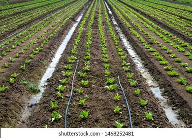Lettuce farm on sunlight. Rows with small lettuce plants.