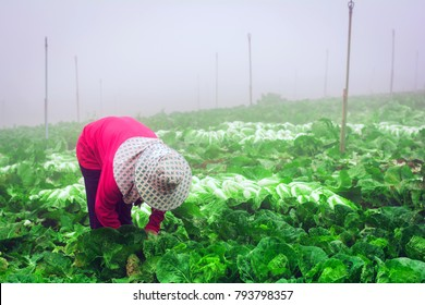 Lettuce farm workers begin early in the morning,copy space.