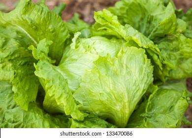 lettuce in the field