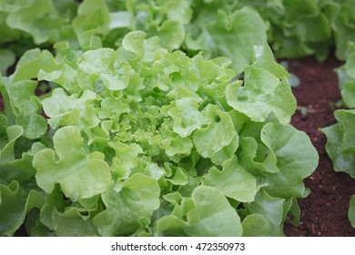 Lettuce in a field